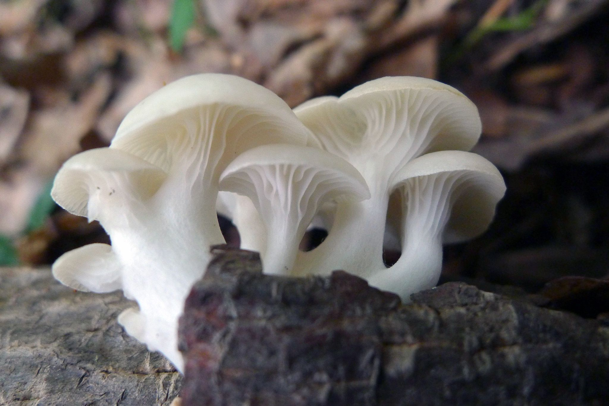 View looking up under the gilled caps of a cluster of six white mushrooms.