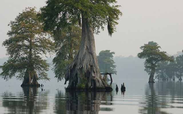 Cypress trees in Lake Drummond, Great Dismal Swamp NWR