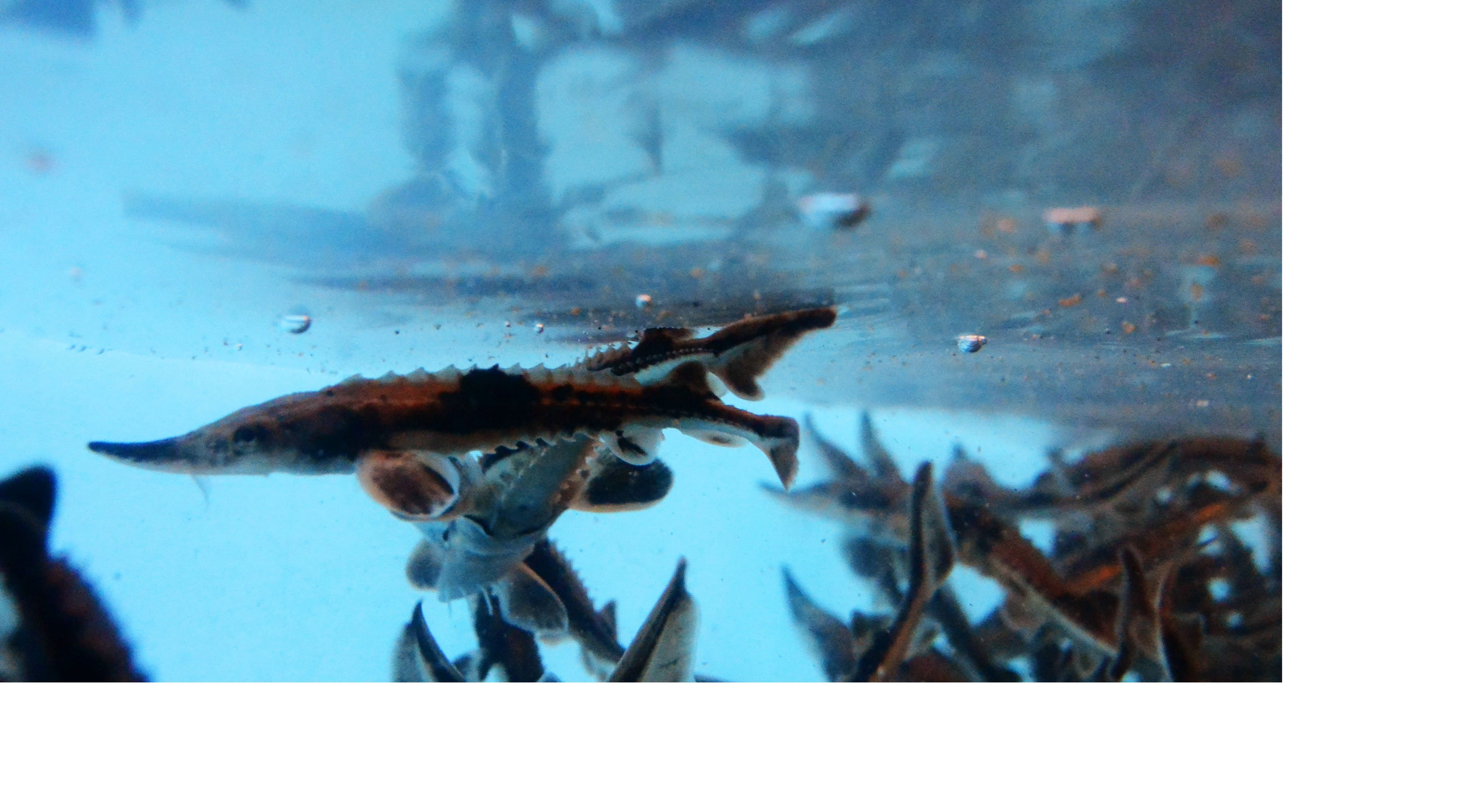 underwater view of small brown fish in a tank
