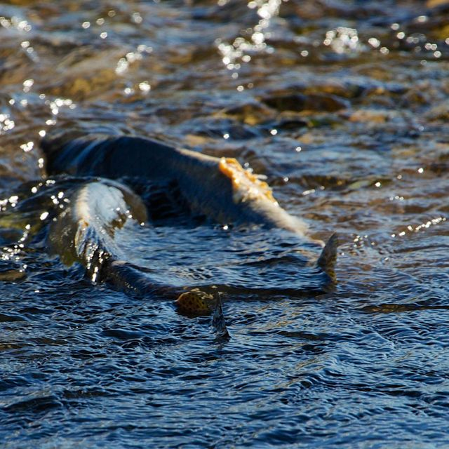 Two fish splashing in shallow water
