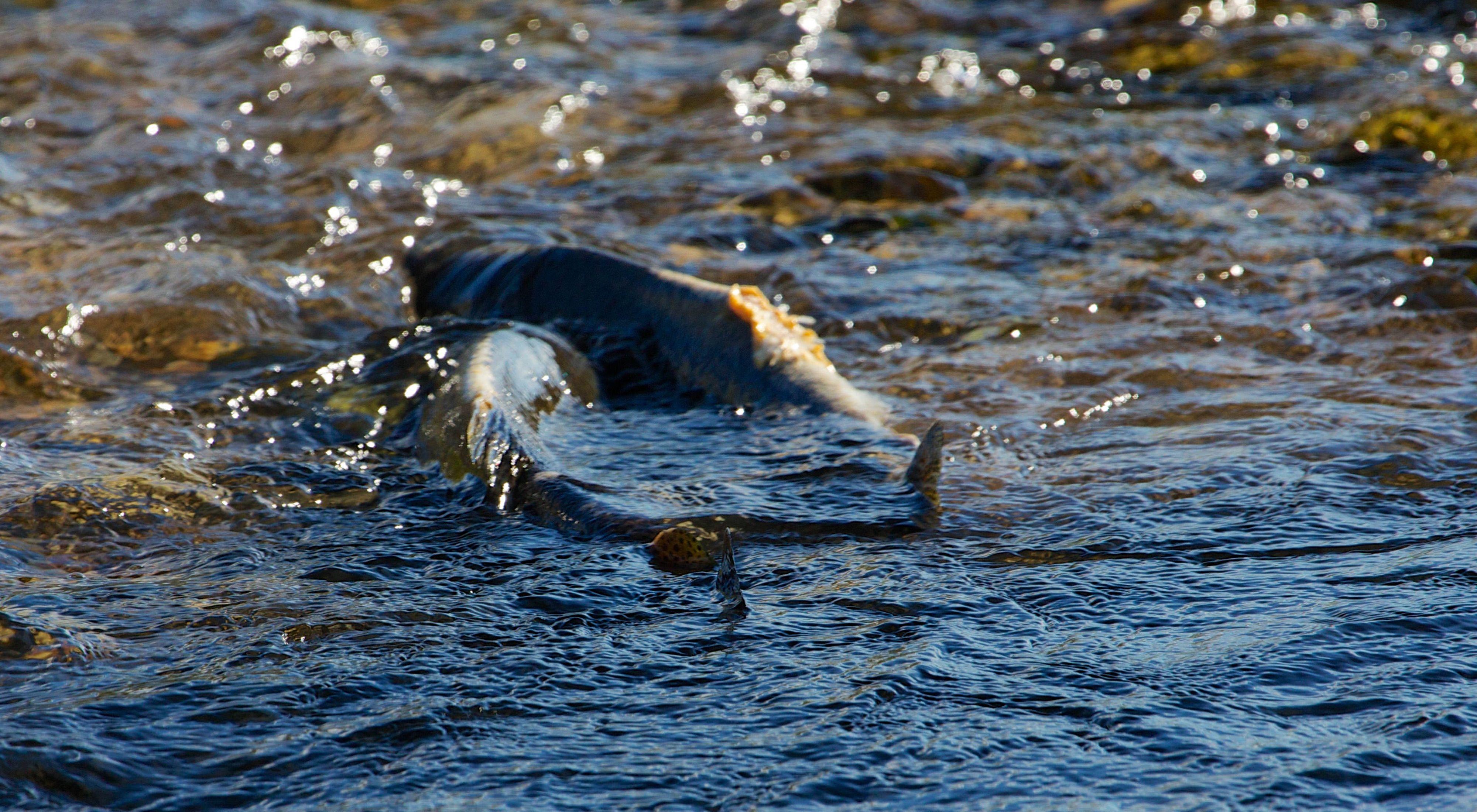 Salmon returning to Idaho's Lemhi River