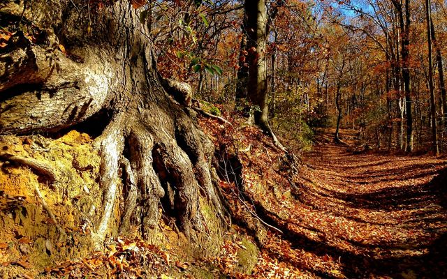 The gnarled roots of a tree are exposed at the edge of an eroded bank next to a wide forest carpeted by autumn leaves.