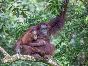 A mother orangutan holds her baby.