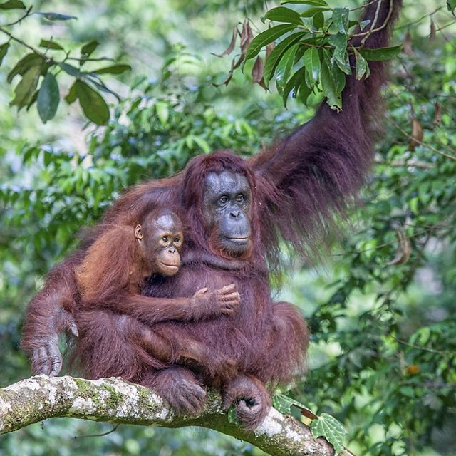 Wild orangutan mother and baby high up in a rain forest in Borneo.