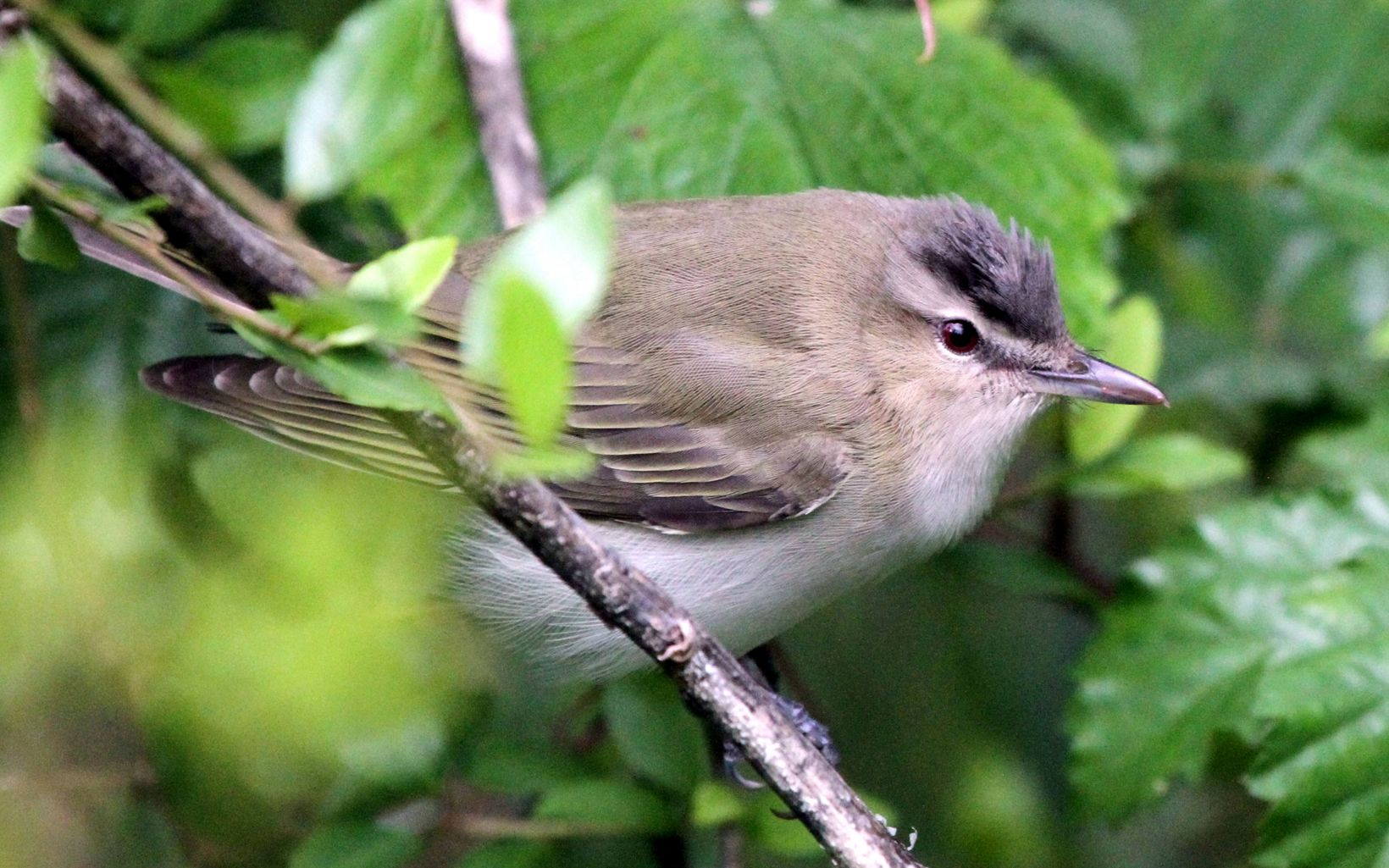 A fluffy gray bird rests in a branch.