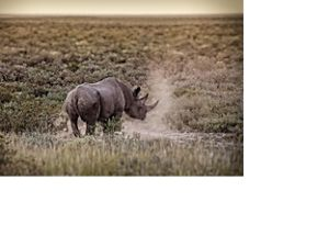 Solo black rhino in Namibia.