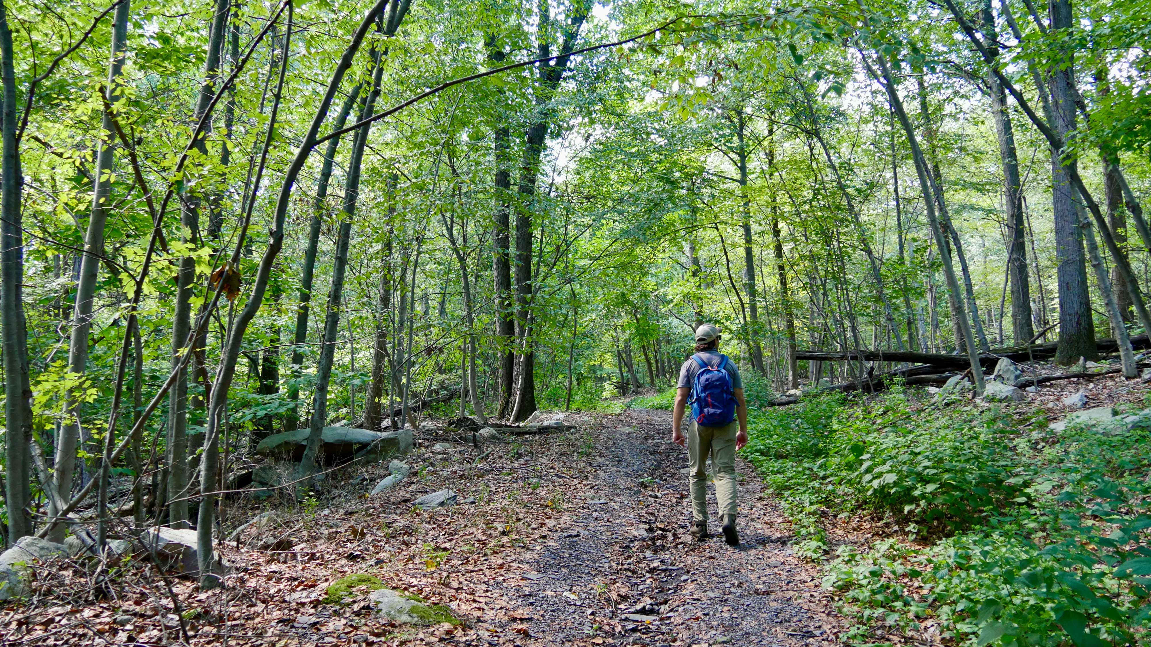 A man walks along a hiking path that stretches into a forest, cutting between tall, slender trees that bend over the trail forming a shaded canopy.