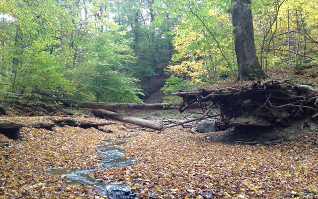Standing in a streambed covered in the first fall leaves, while looking upstream at the logs placed across the stream.