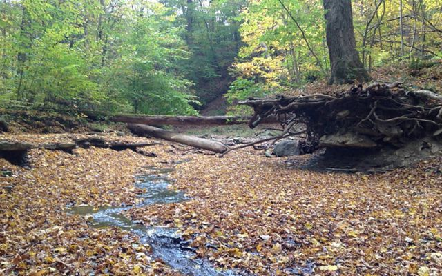 Looking upstream at a small trickle of water passing through a forest floor of autumn leaves, on each side are high banks.