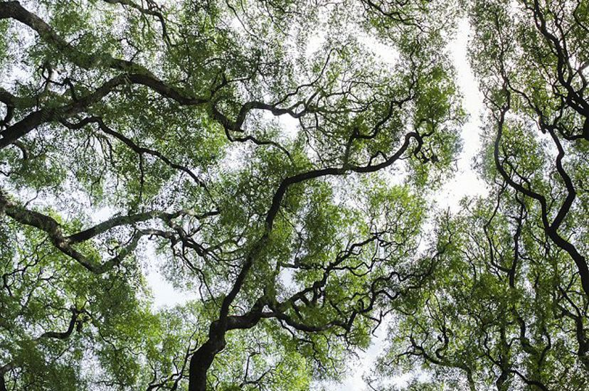 An upward view of tree canopies demonstrating 'crown shyness', where trees don't touch each other, in Buenos Aires, Argentina.