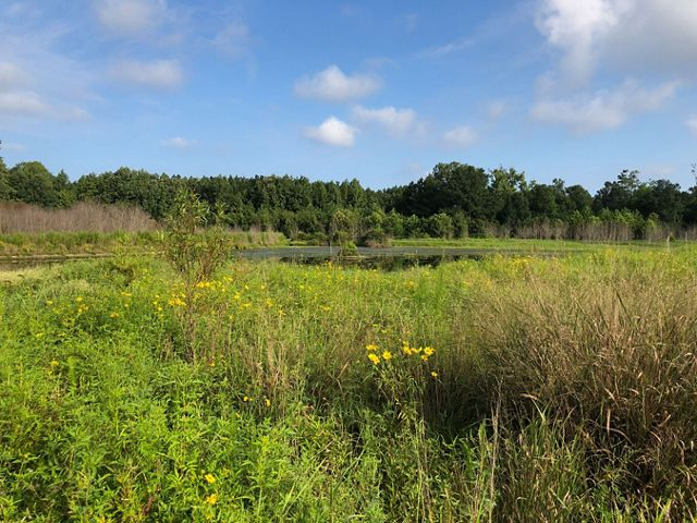 Tall, thick vegetation dominates the foreground of this open wetland. Clumps of small yellow flowers are in bloom.