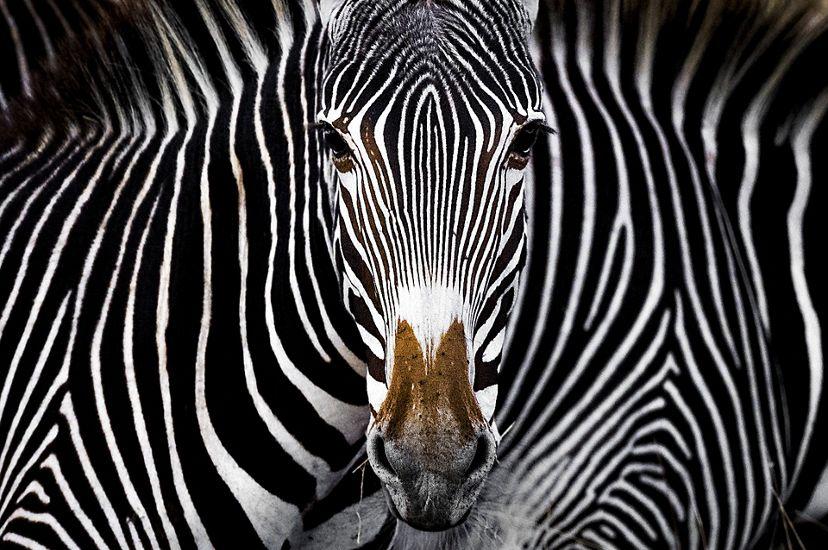 A Grevy's zebra staring at the camera in Lewa, Kenya.
