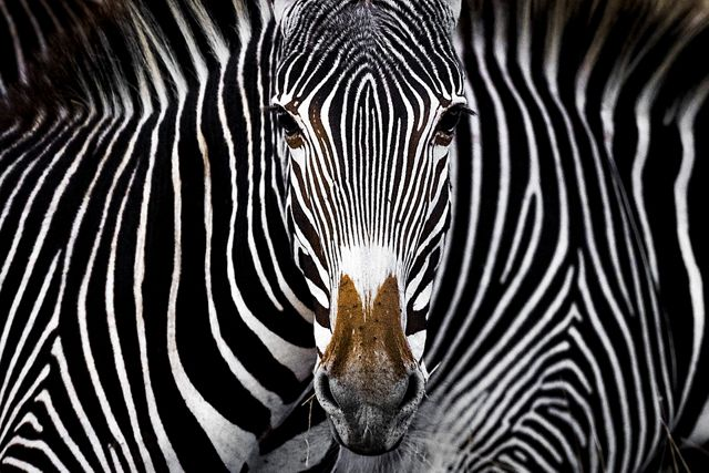 A Grevy's zebra staring at the camera in Lewa, Kenya.