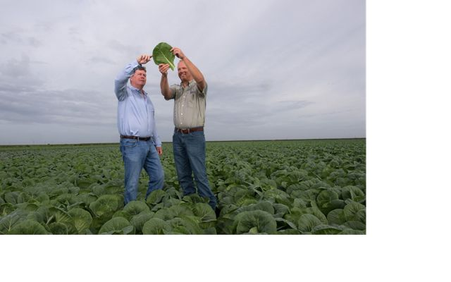 Florida farmers in a field of collard greens