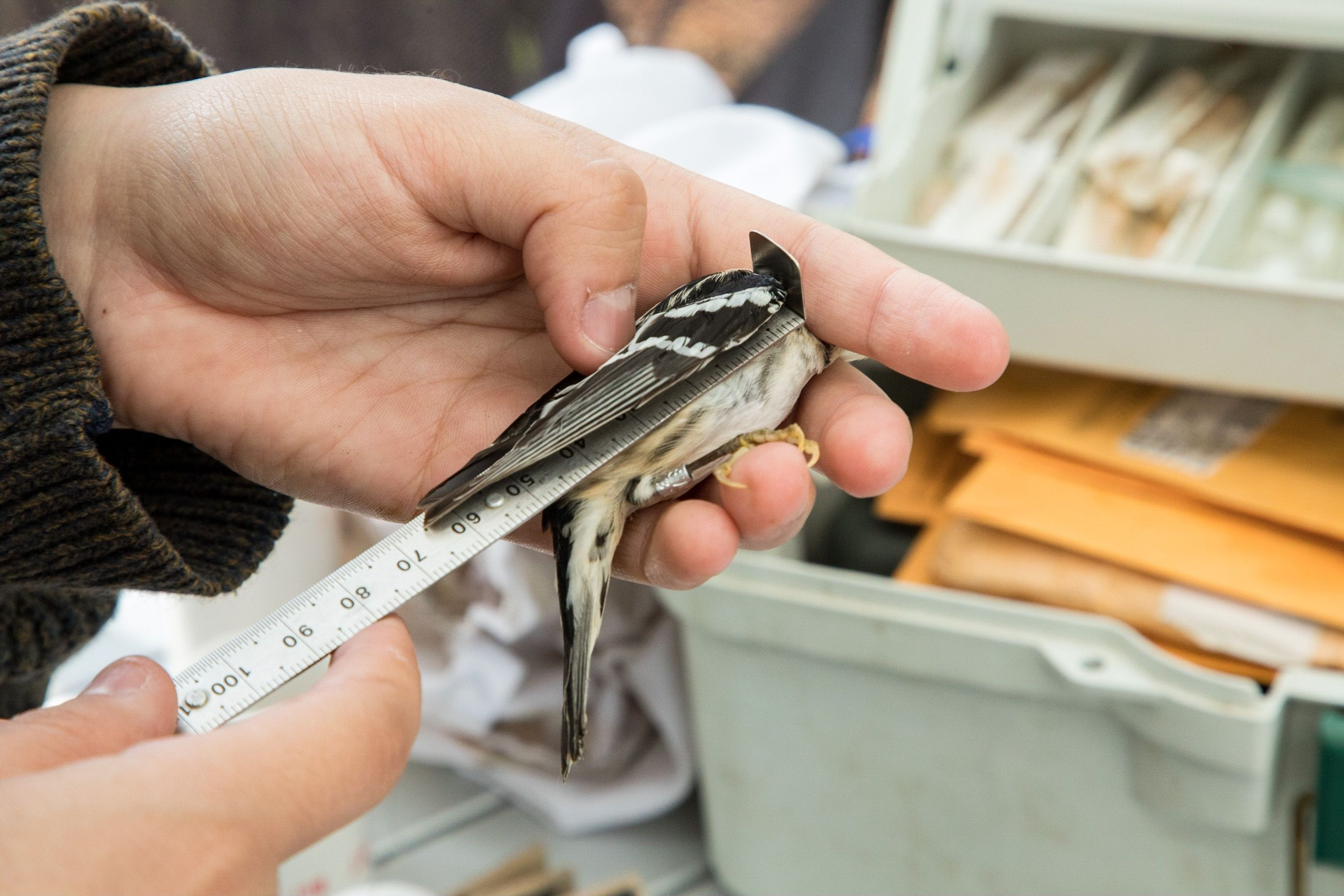 A person holds a ruler against a small black and white bird, taking its measurements.