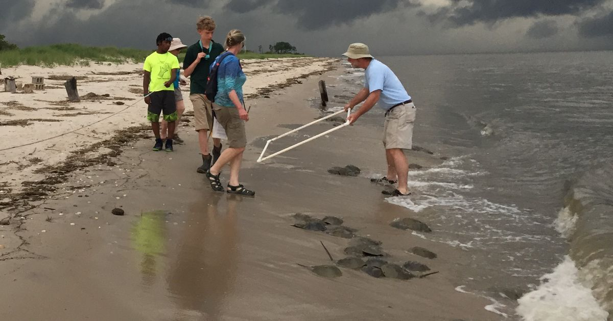 Horseshoe crab survey in progress