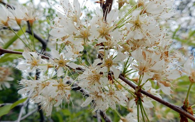 A tight cluster of white blossoms on a thin branch. Groups of three flowers grow on thin green stems from a common point on the branch.