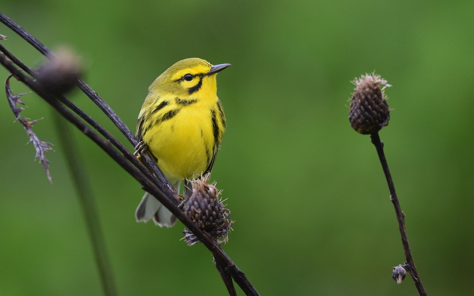 A yellow and black bird rests on a dry stem.