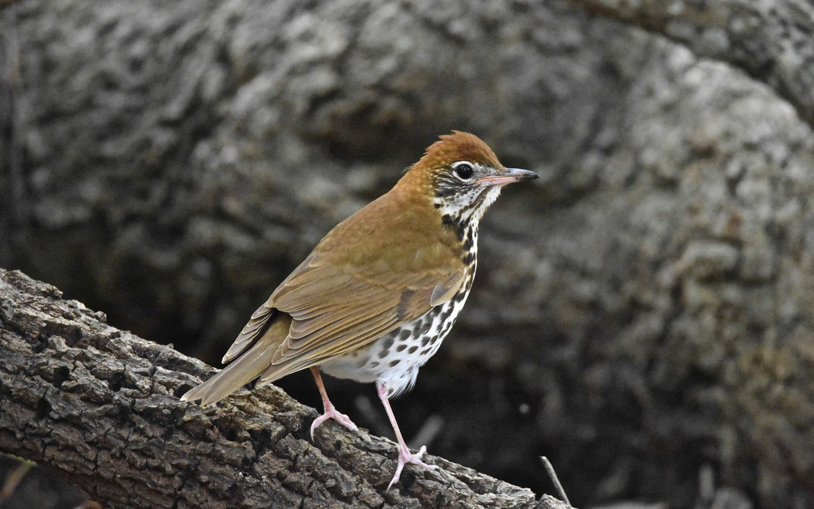 A brown bird rests on a branch.