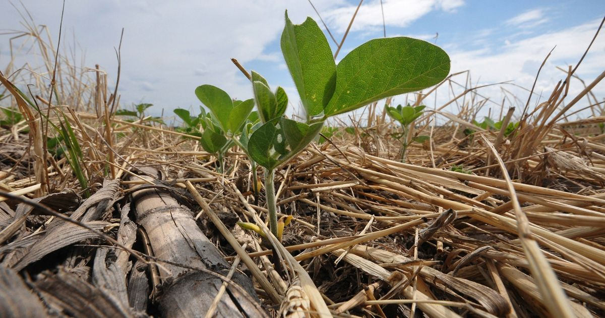 Soybeans emerge through a thick mat of diverse cover crop plant residues. Cover crop plant residues help reduce evaporation, lower soil temperatures and protect the soil from wind and water erosion.