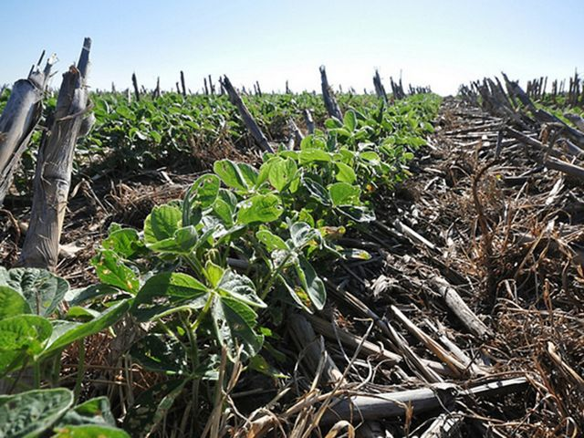 Soybeans grow through a dense blanket of diverse cover crop residue in this Nebraska field.