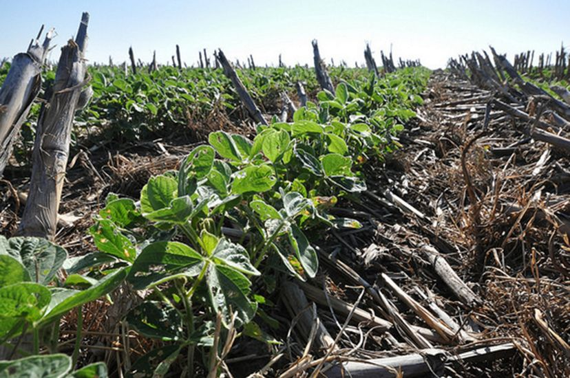 Soybeans and Cover Crops.