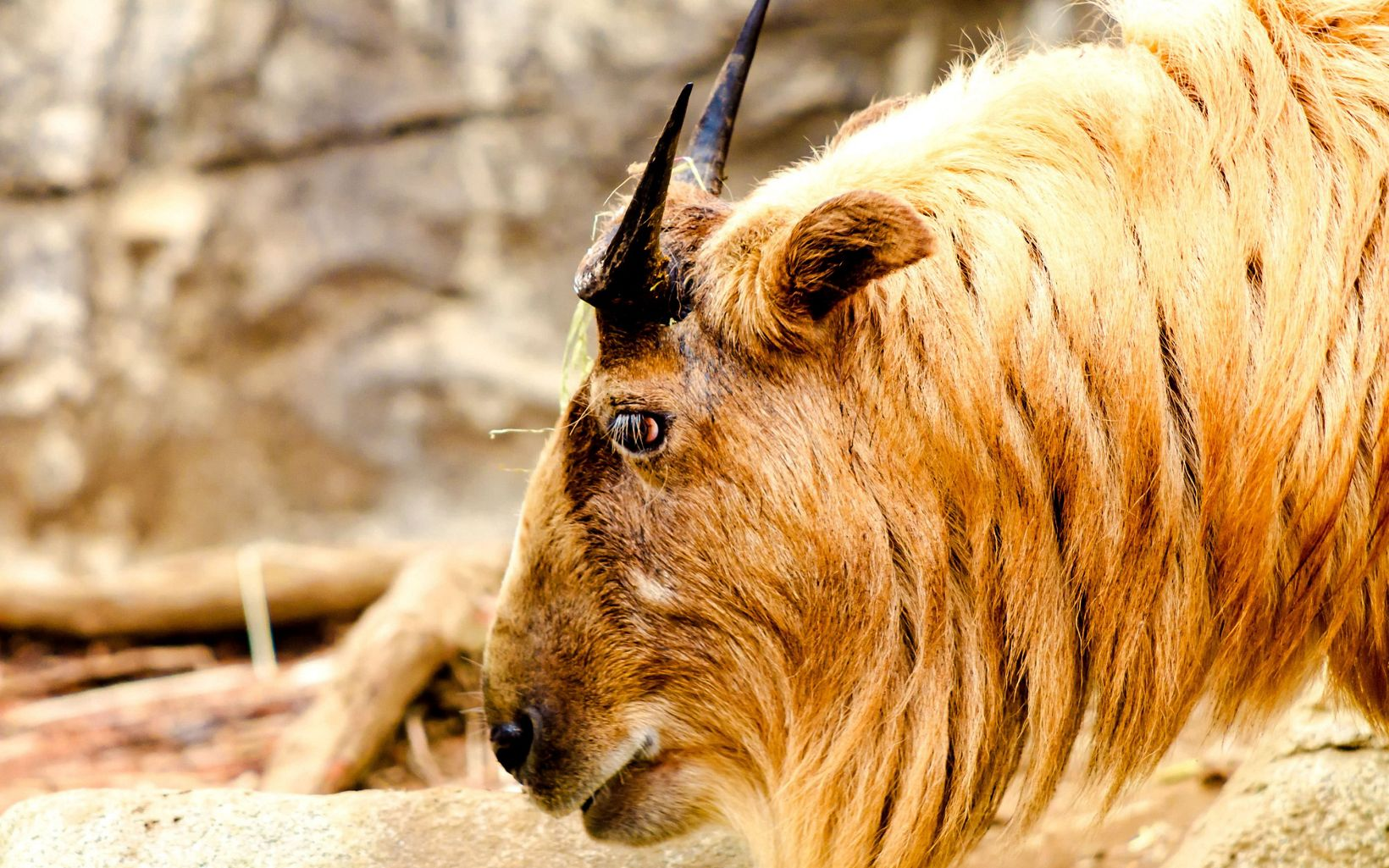 closeup of the side of a takin's head