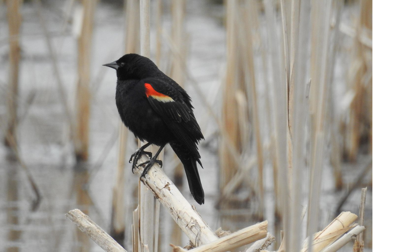 A black bird with red markings rests on a branch.