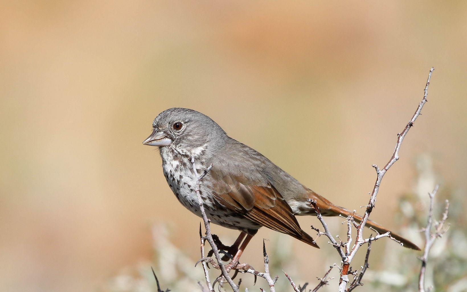 A brown bird rests on a bush.