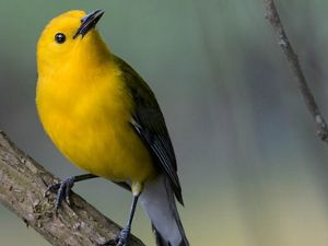 The Prothonotary Warbler got its name from the bright yellow robes worn by papal clerks, known as prothonotaries, in the Roman Catholic church.