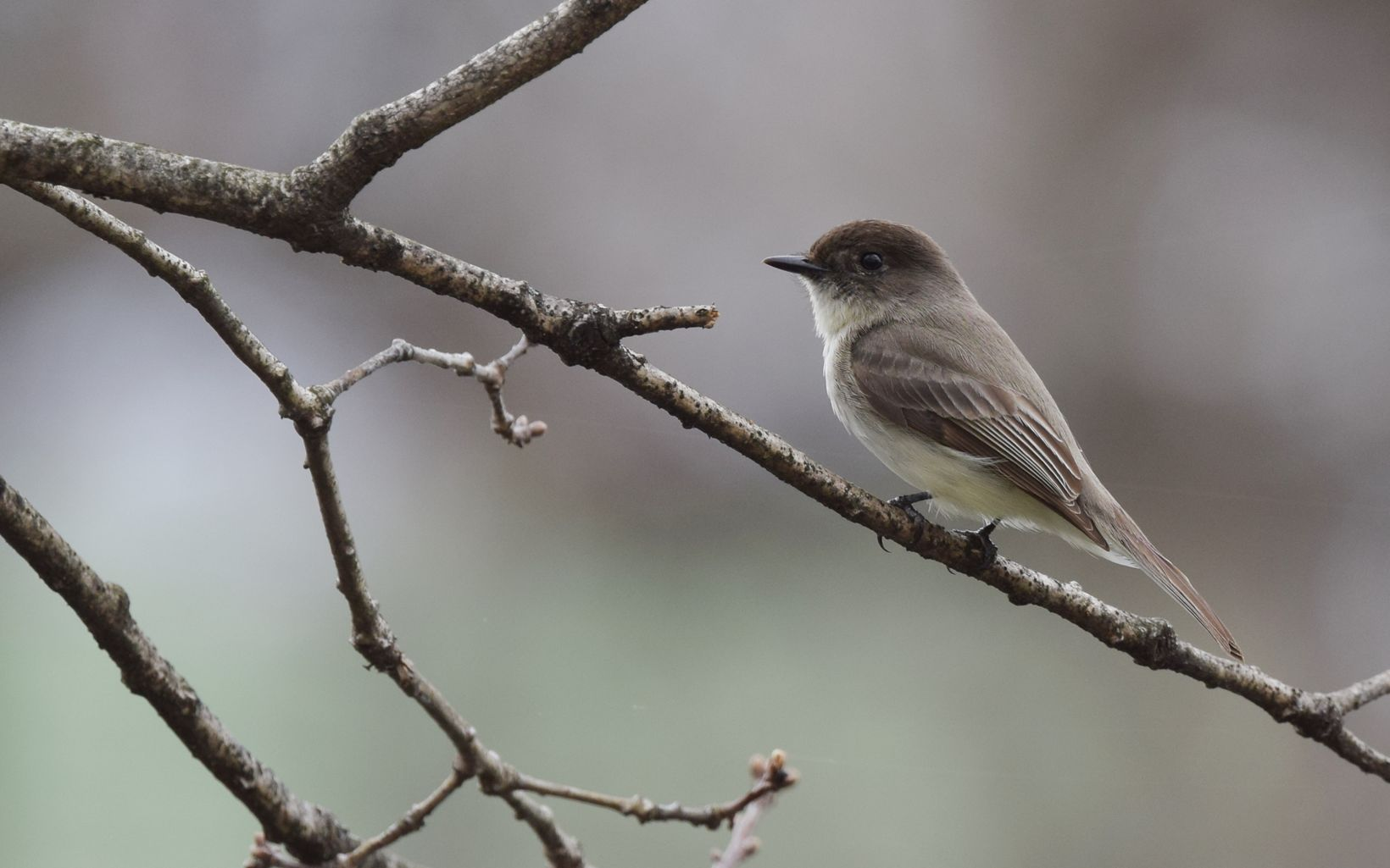 A gray bird rests on a thin brown branch.