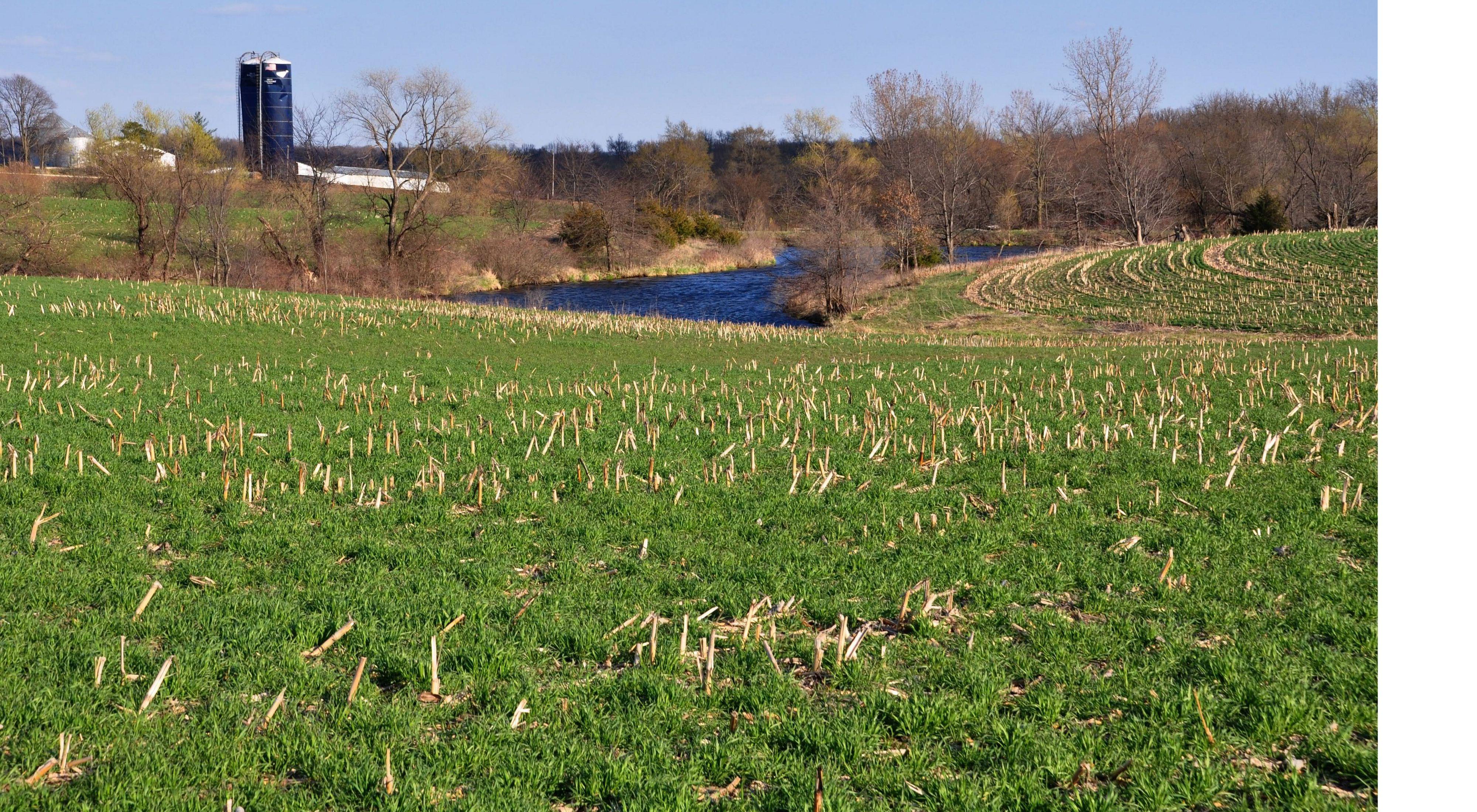 A field planted with rye cover crops.