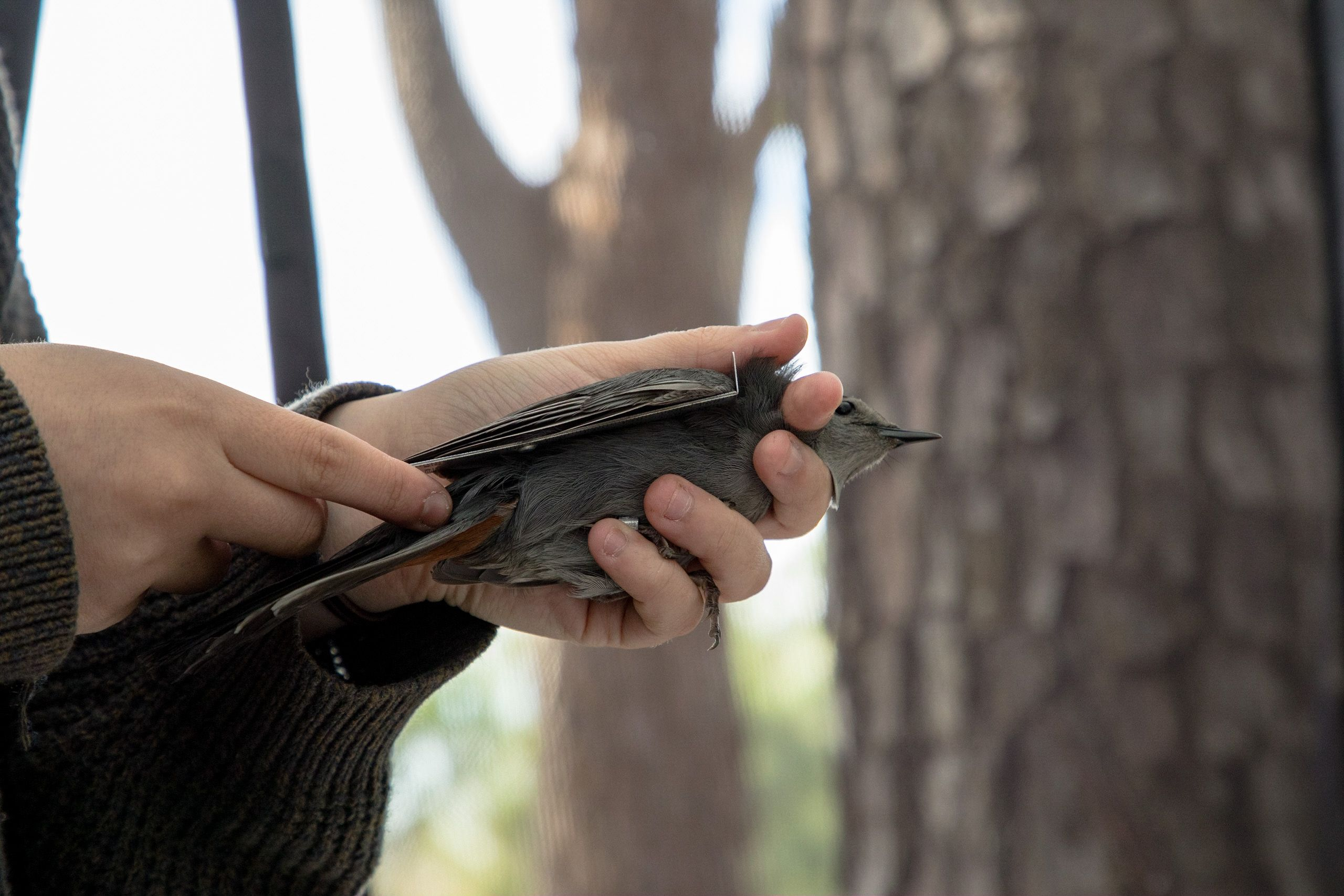 A person holds a small gray bird and uses a ruler to take its measurements.