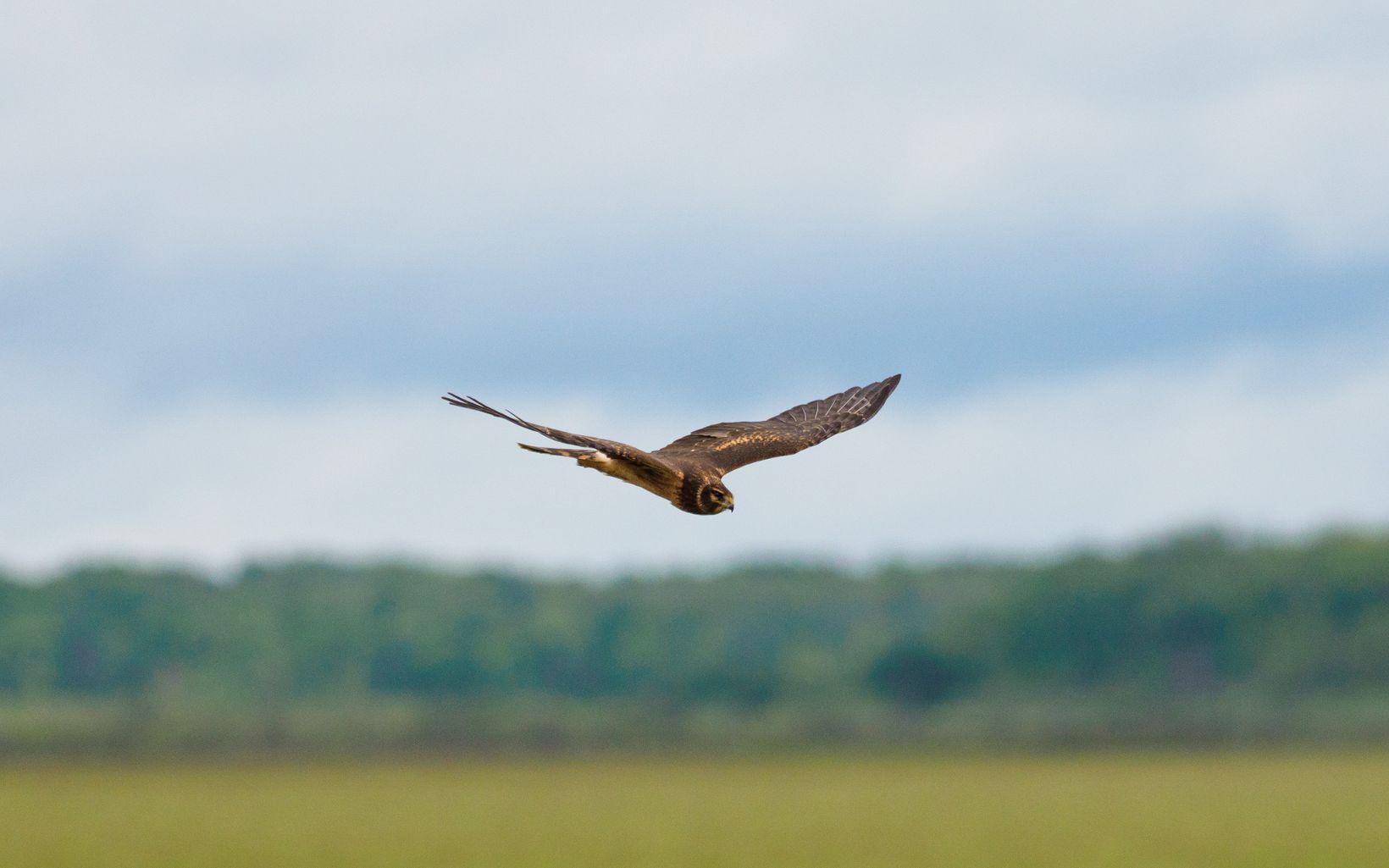 A hawk flies over a grassy field.
