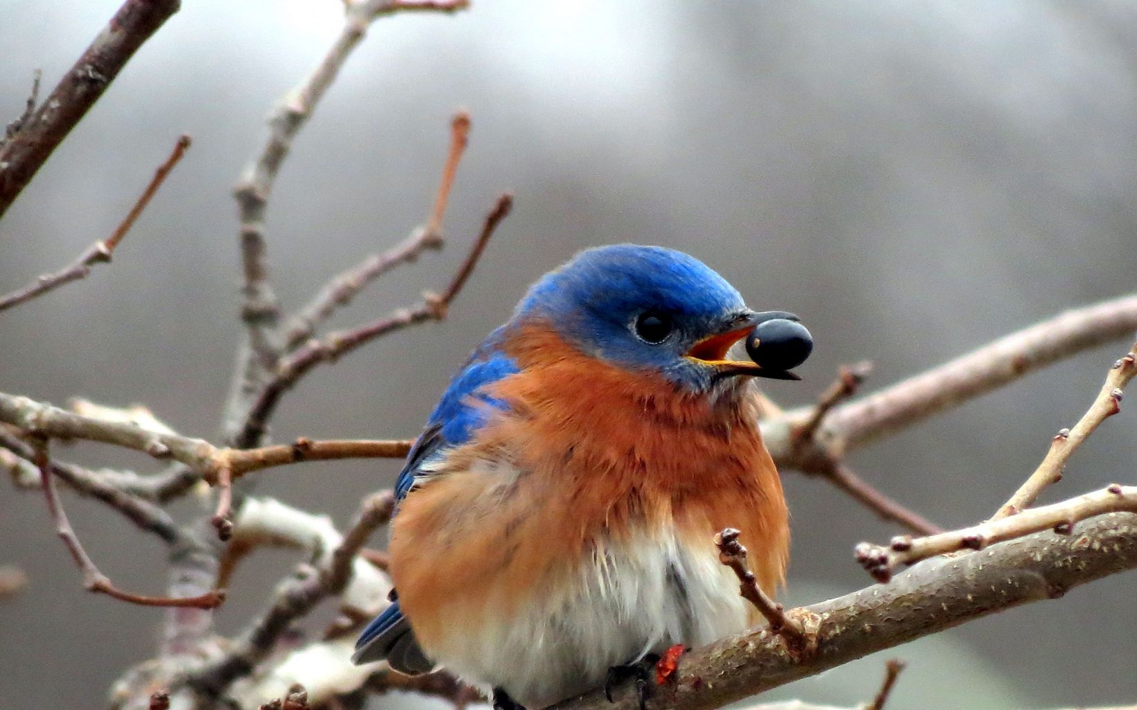 A bluebird holds a blueberry in its mouth.