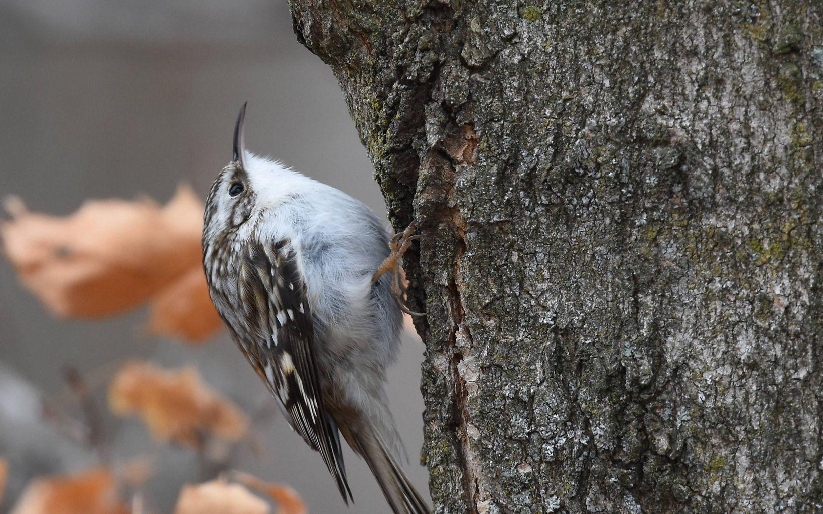 A plump bird seeks food in a tree trunk.