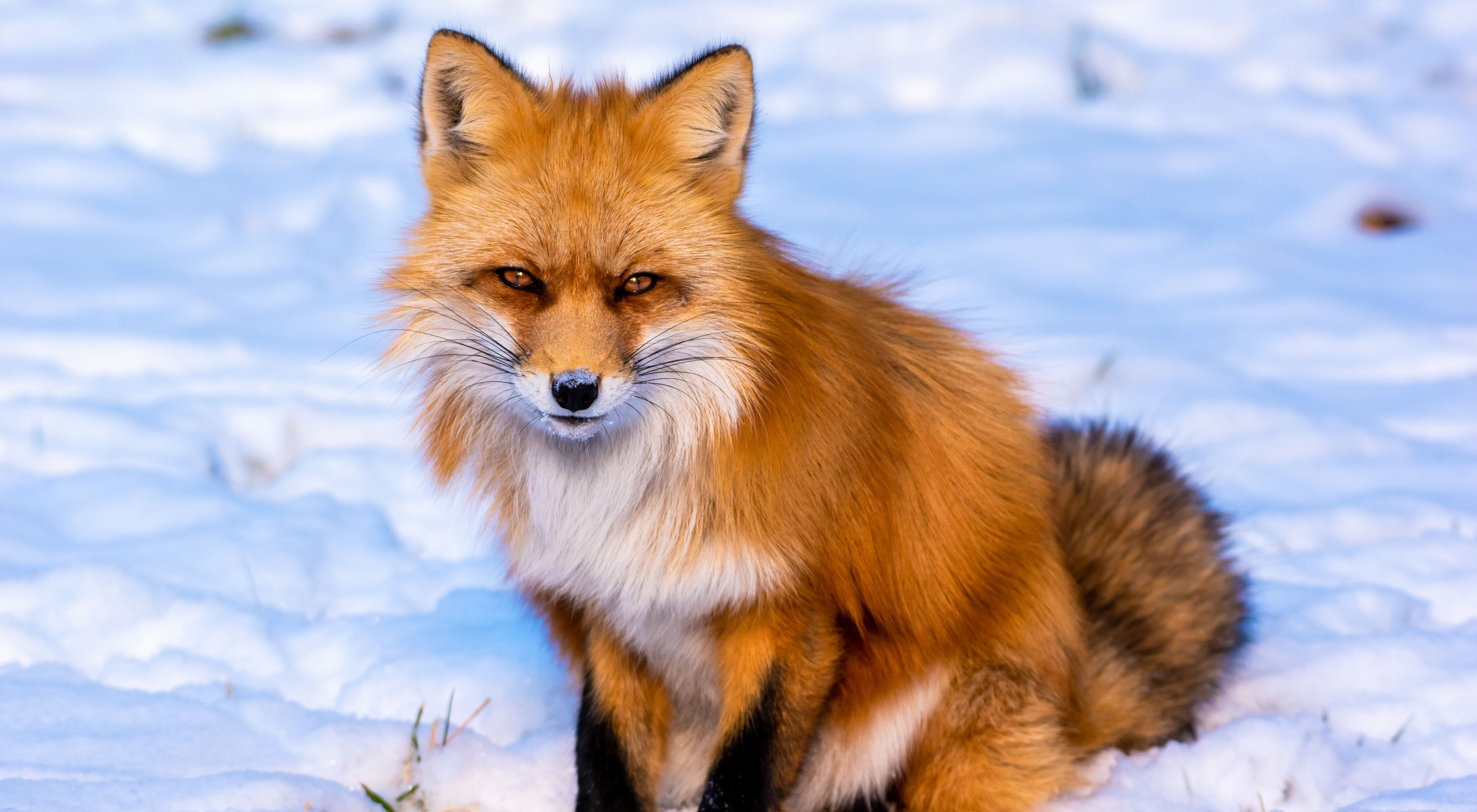 A fox in the snow looking at the camera.