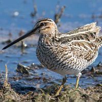 Wilson's snipe wading in grassy, shallow water