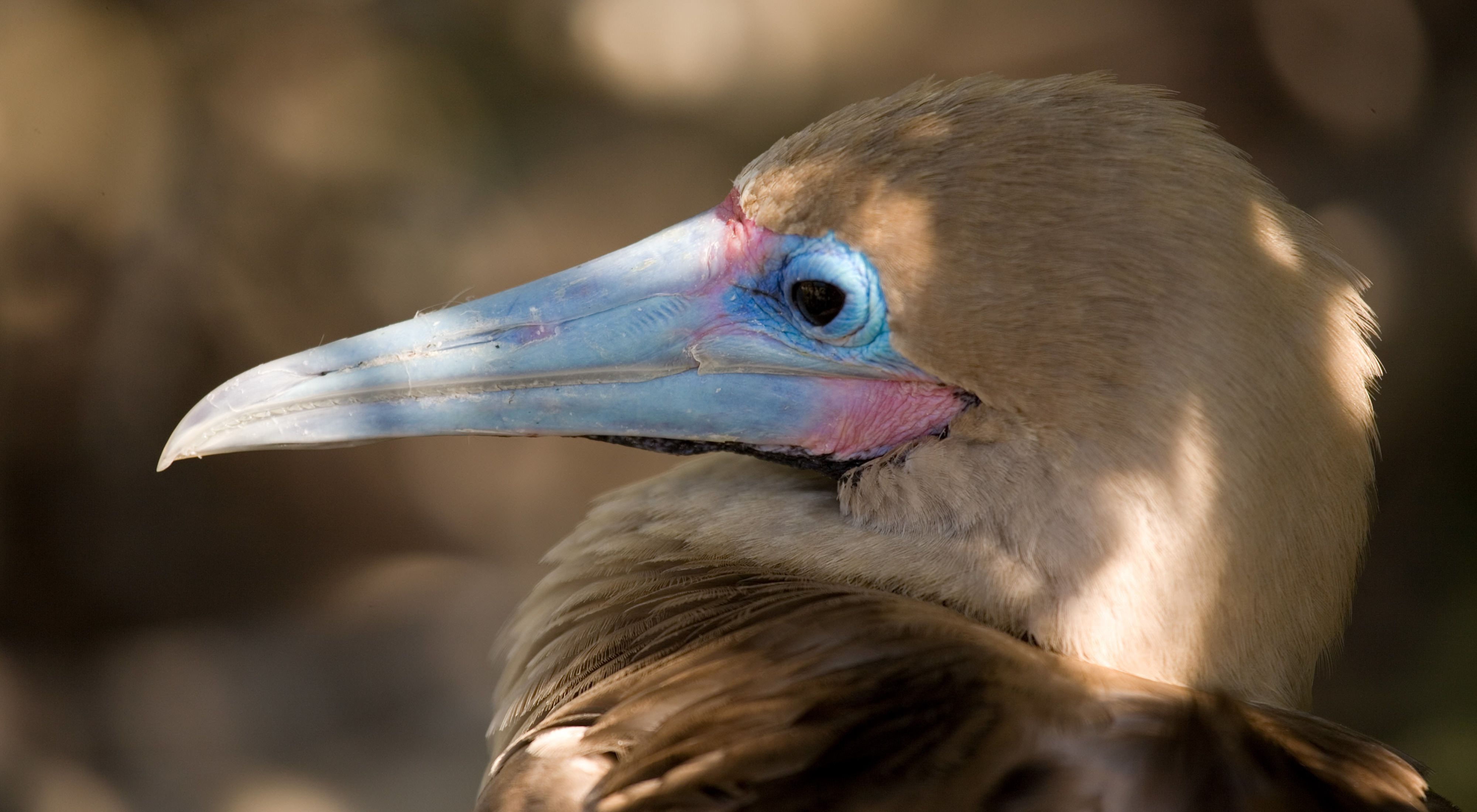 side view closeup of a white and brown bird with a blue beak