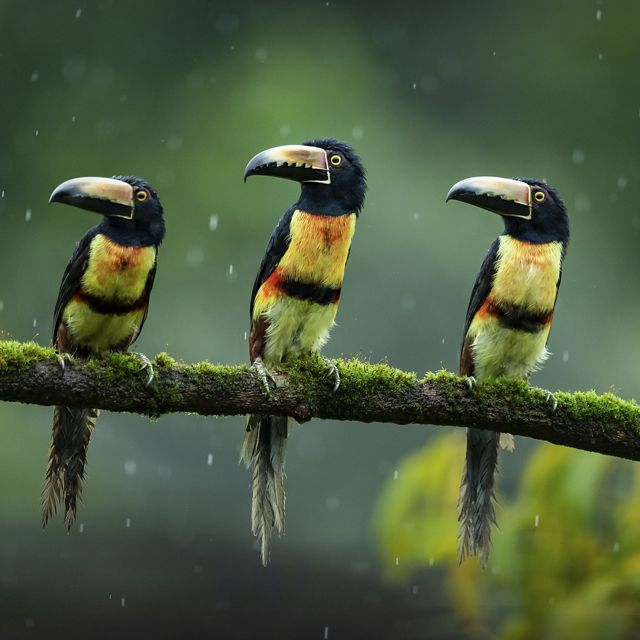 a photo of three toucan-like birds on a branch in the rain
