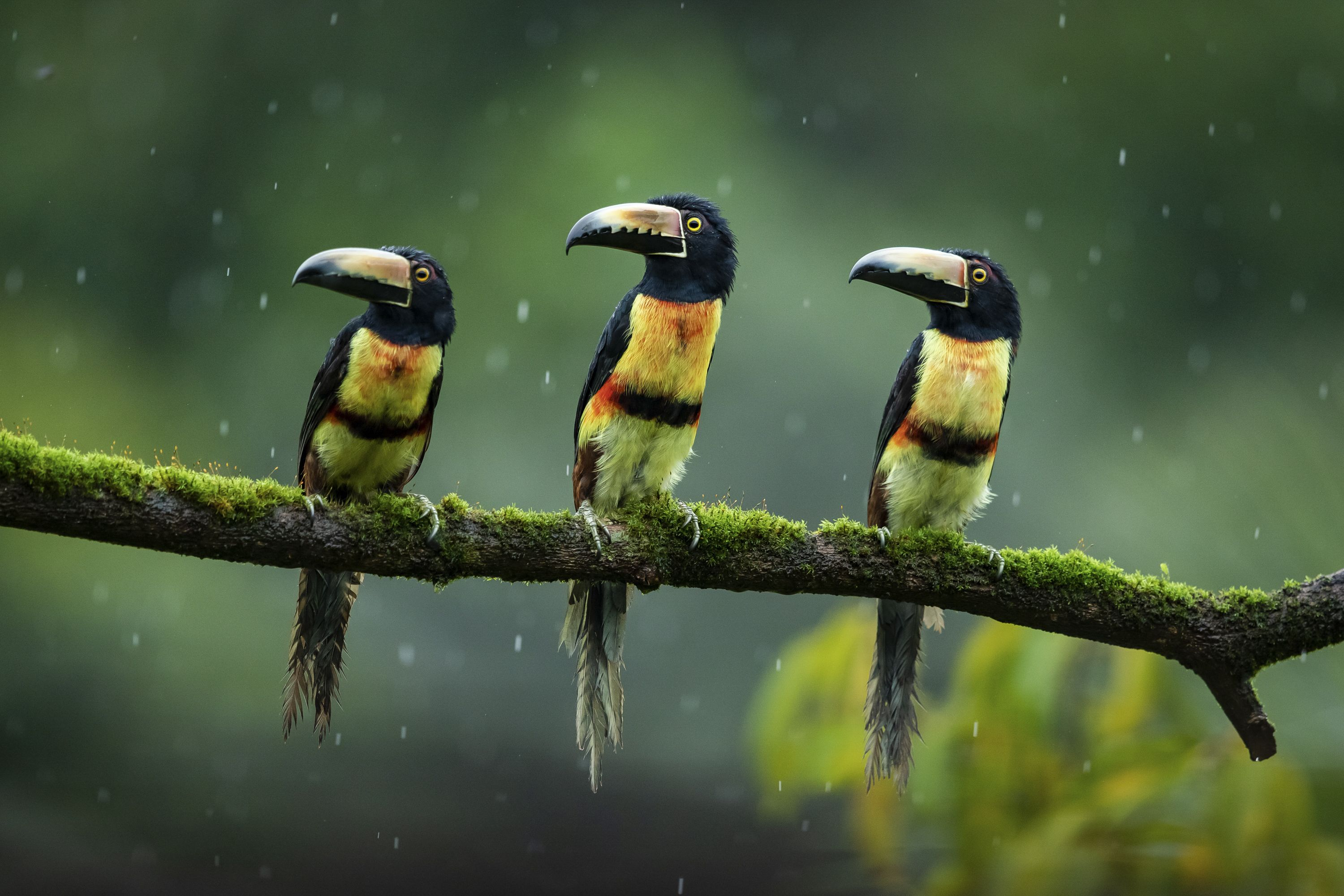 three colorful parrot-like birds sit on a branch in a forest in the rain