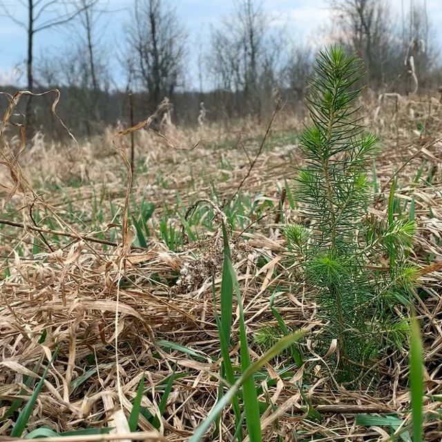 A grounds-eye view of a freshly planted red spruce seedling. The foot high tree is planted in an open field covered with dead brown grass and early spring green shoots.