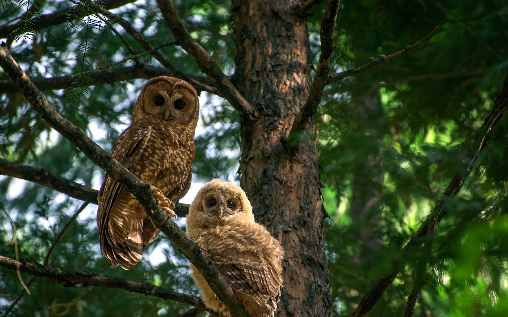 California spotted owl parent and chick.