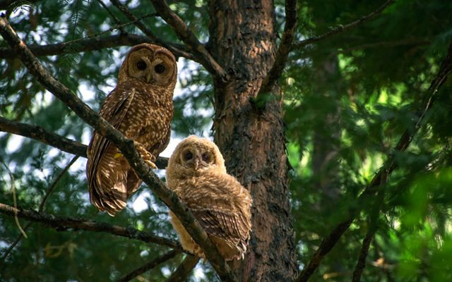 An adult owl and chick perch on a branch looking at the camera.