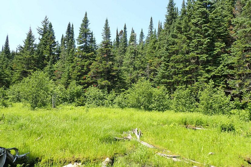 Wetlands with spruce in background and blue sky.