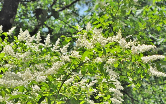 This mostly evergreen shrub spreads via abundant seeds carried by birds and water and via root sprouts..