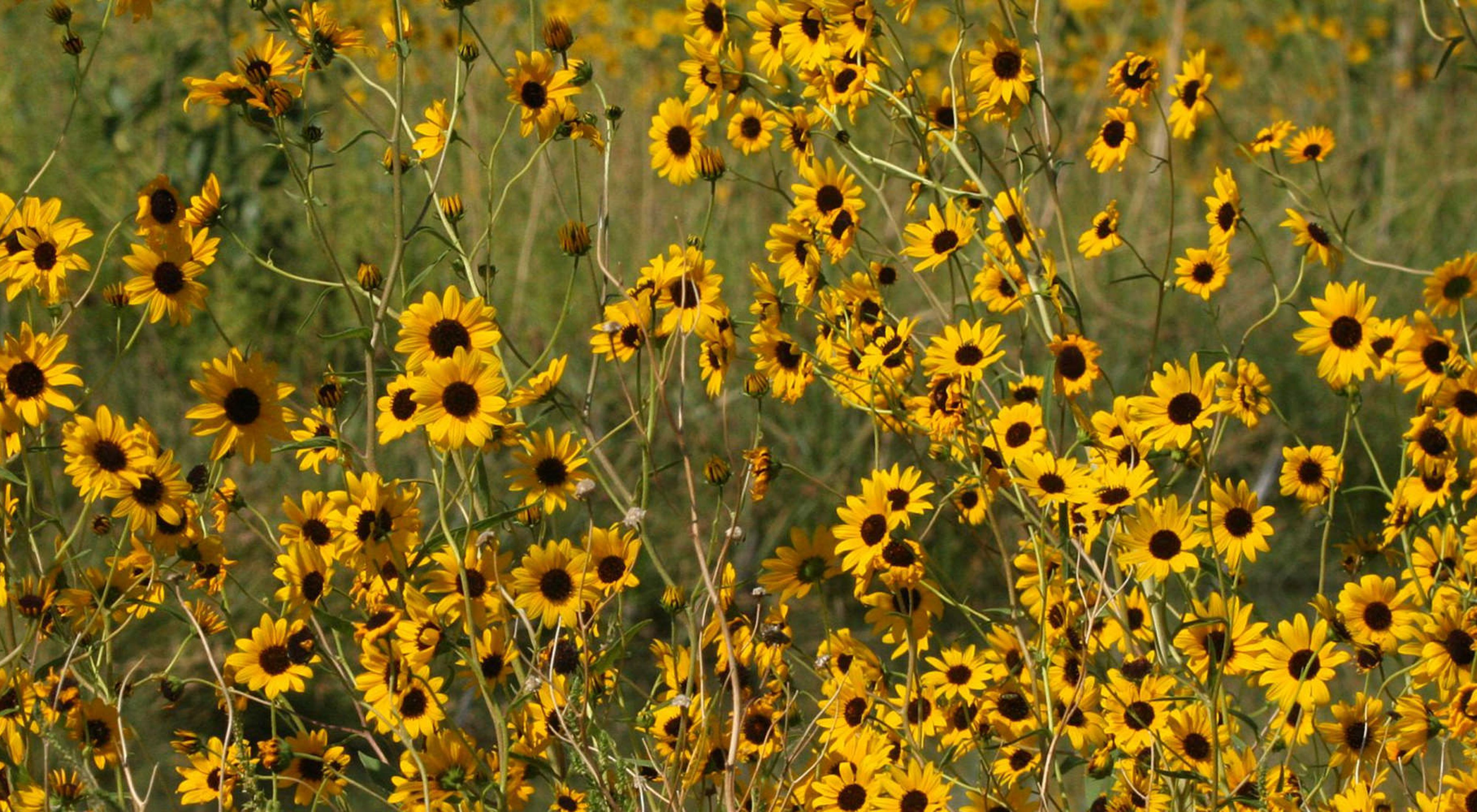 The rare Pecos sunflower thrives at Blue Hole CIenega.