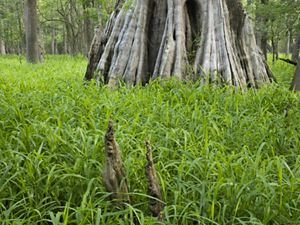 Photo of a cypress tree trunk, grasses in foreground.