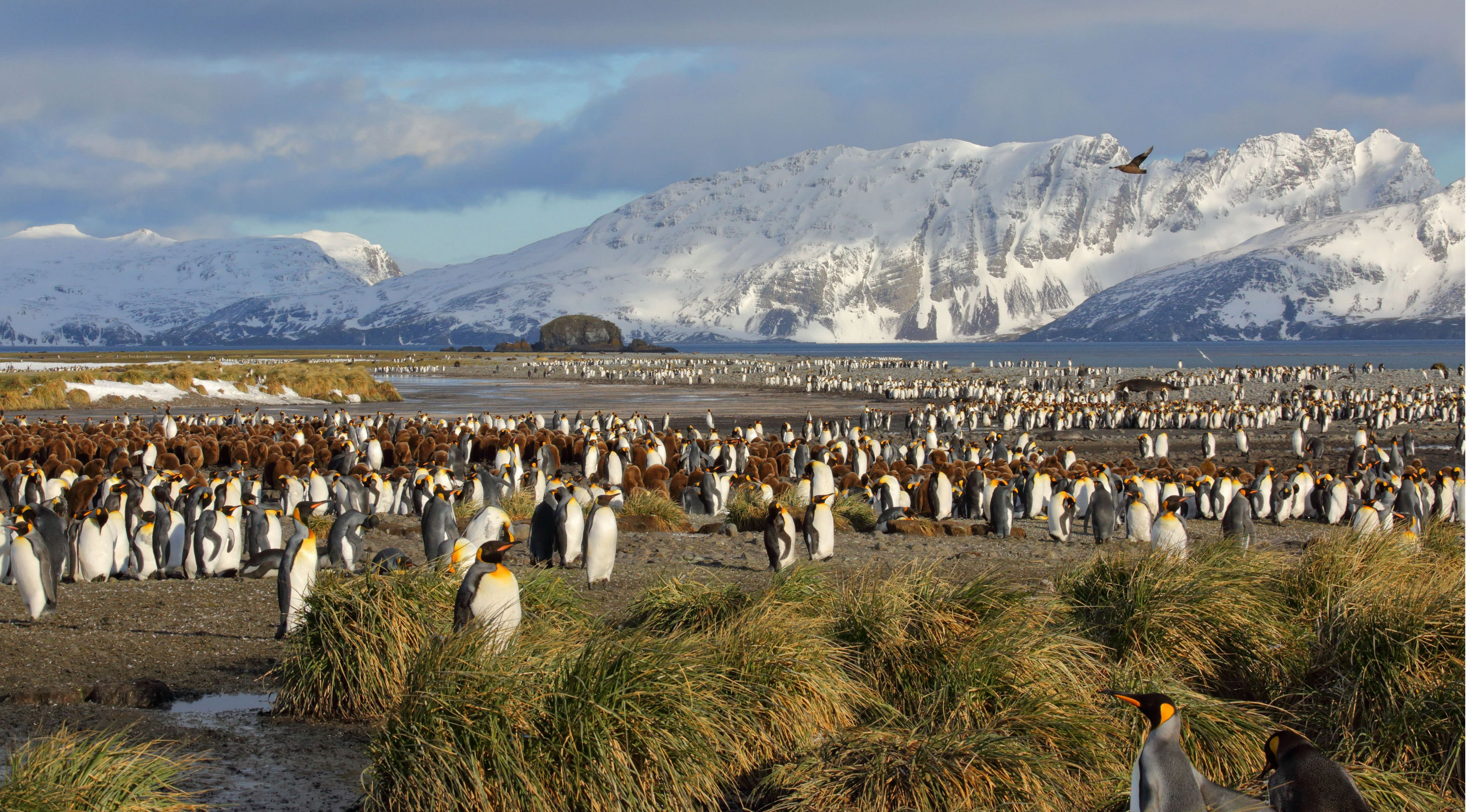 king penguins gather near grasslands and snowcapped mountains