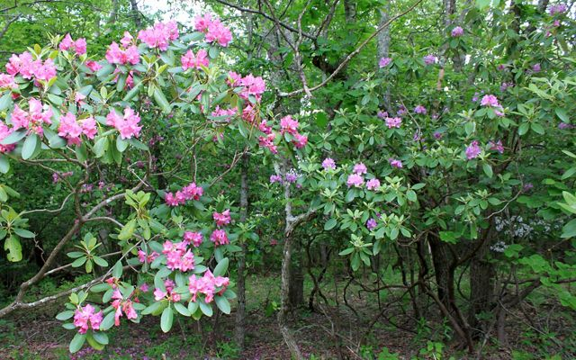 Pink blossoms of mountain laurel and rhododendron stand out in a forested thicket.